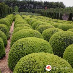 Šimšir sadnice