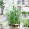 Spiralna trava Juncus Twister