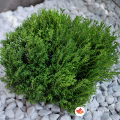 Tuja - Thuja occidenatalis Teddy