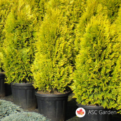 thuja occidentalis golden smaragd 40 60cm rasadnik i prodaja sadnica asc garden beograd. Black Bedroom Furniture Sets. Home Design Ideas