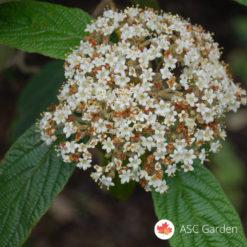 Viburnum rhytidophyllum udika