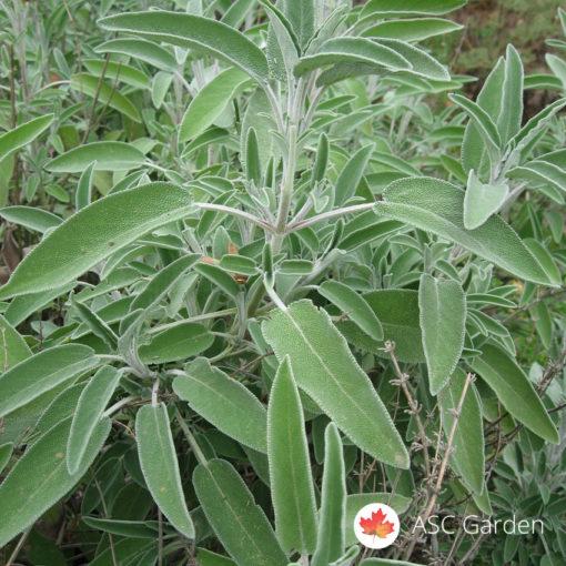 Žalfija Salvia officinalis