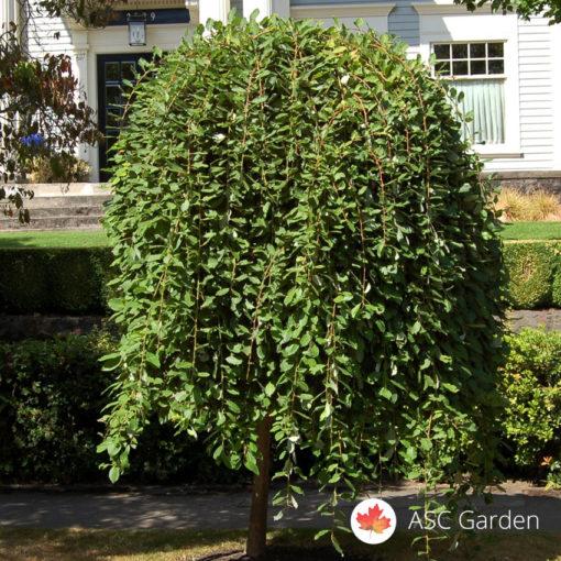 Žalosna vrba - Salix caprea Kilmarnock