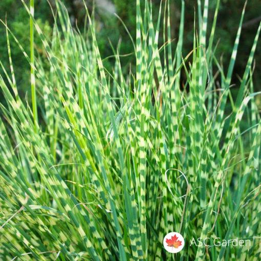Zebrina trava