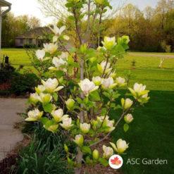 Zimzelena magnolija - Magnolia grandiflora