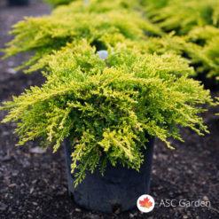 Zlatna polegla kleka Juniperus old gold