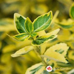 Zlatni evonimus Euonymus fortunei Emerald 'n' Gold