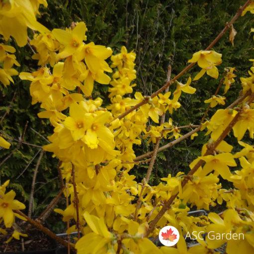 Žuti žbun Forsythia intermedia Gold rausch